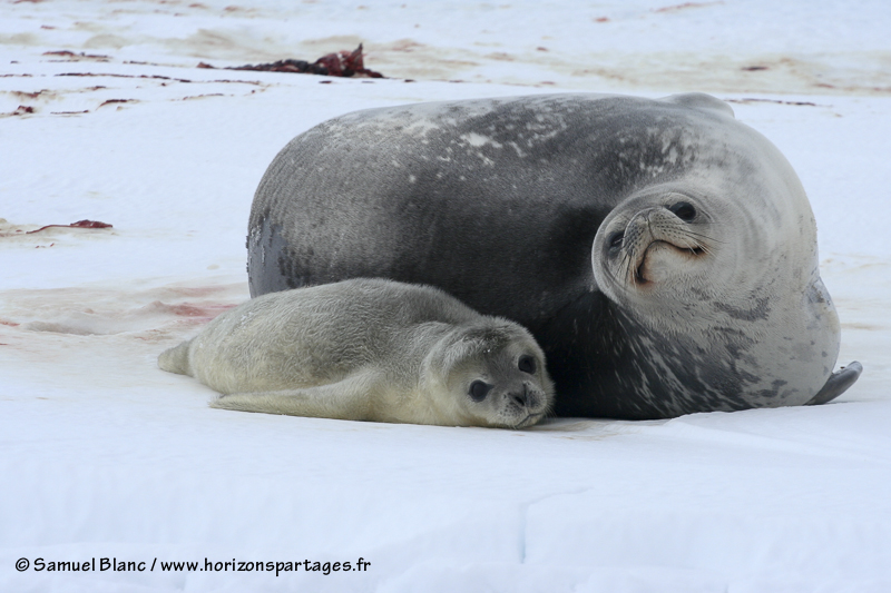 Bébé phoque de Weddell agé de 2 jours aux cotés de sa mère