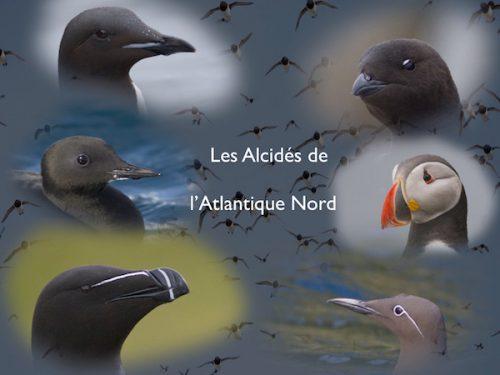 Conférence Les alcidés de l'Atlantique Nord