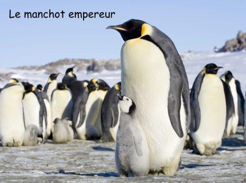 Conférence Le manchot empereur