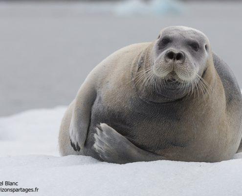 Phoque barbu en Arctique