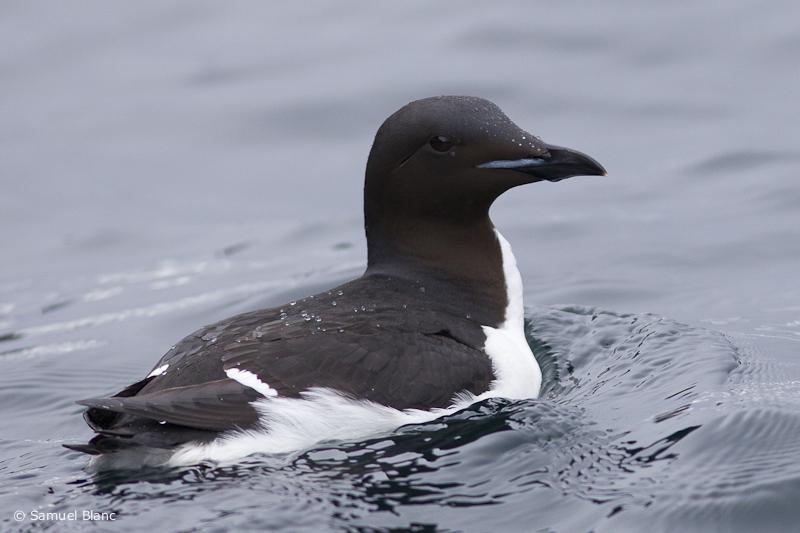 Guillemot de Brunnich, Svalbard