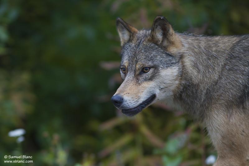 Loup gris en Colombie Britannique, Canada