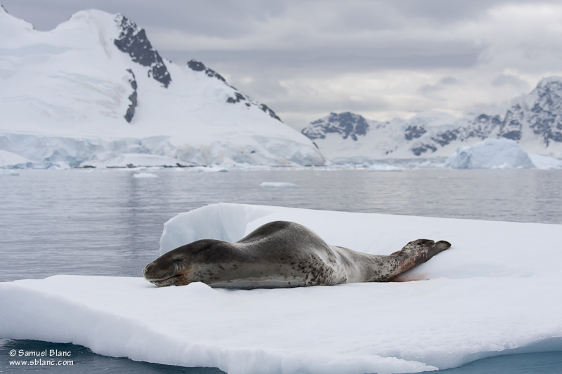 Léopard de mer sur une plaque de banquise