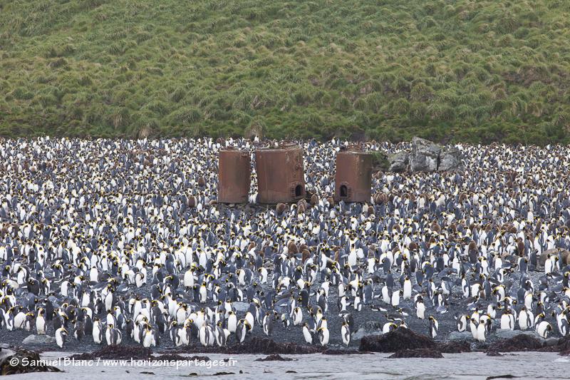 Colonie de manchots royaux à Lusitania Bay