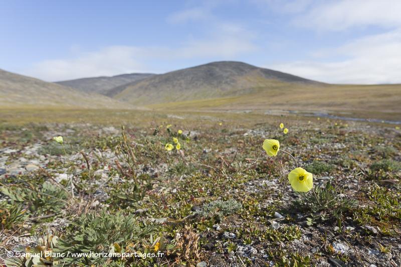 Pavot arctique sur l'île Wrangel
