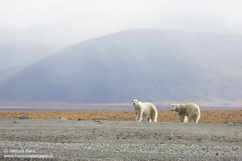 Ours polaires à l'île Wrangel en Tchoukotka