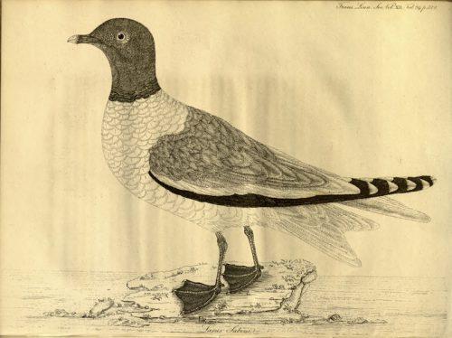Premier dessin de la mouette de Sabine en 1818